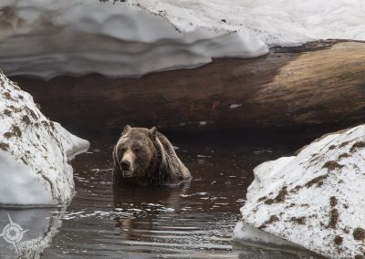 Grizzly in water at Grouse Mountain