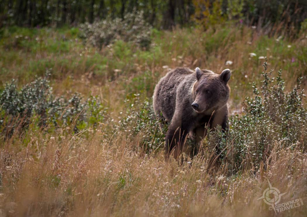 Young grizzly bear Yukon