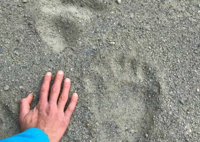 Black Bear Prints near Thunder Egg Mountain Yuikon