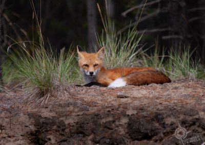 Red Fox Yukon