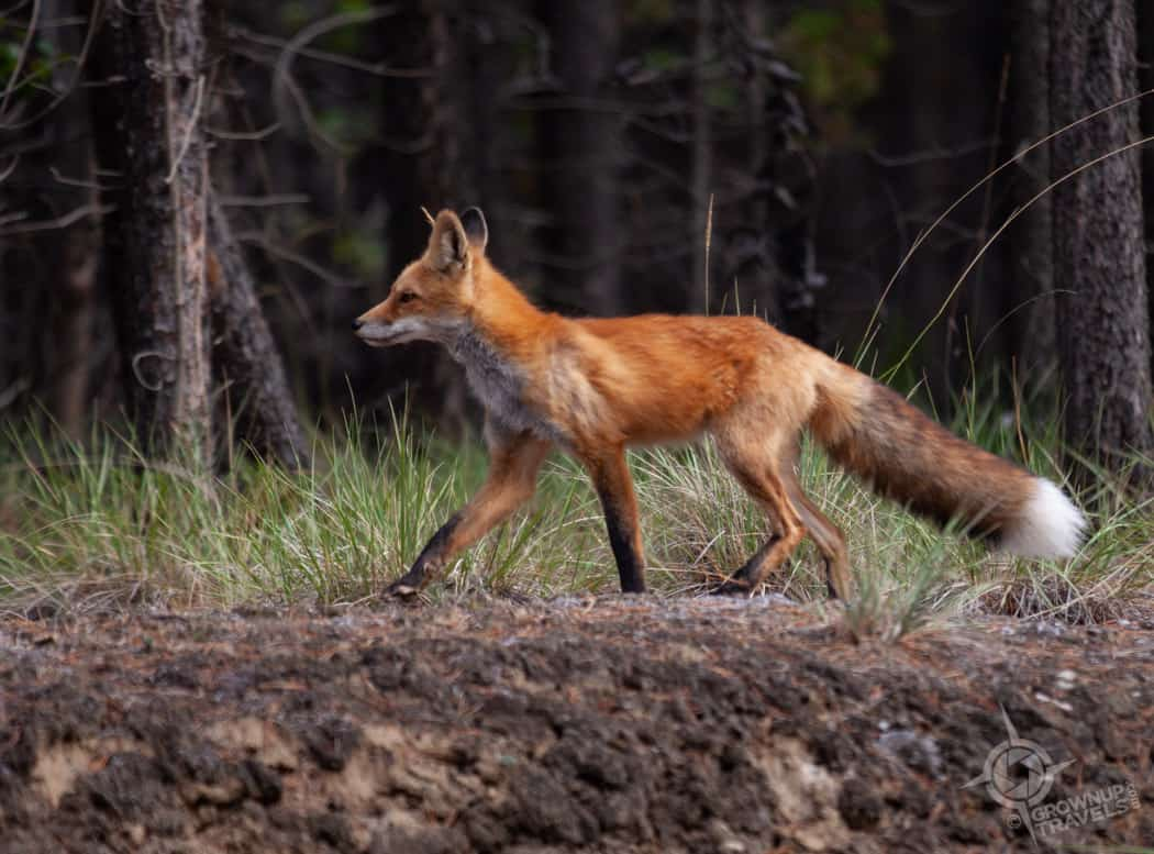 Red Fox near Whitehorse Yukon