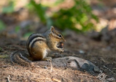 Chipmunk in Killarney Provincial Park