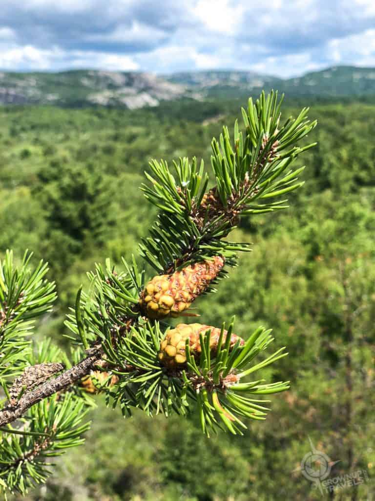 Pine cones with La Cloche mountains in background
