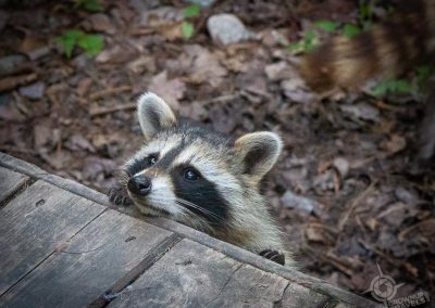 Baby Racoon peeking over deck Killarney