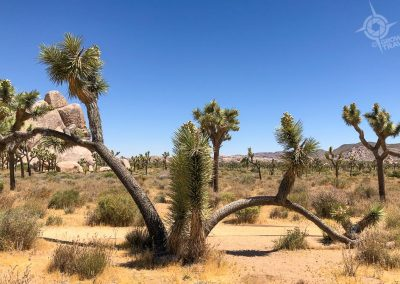 Joshua Tree double arch