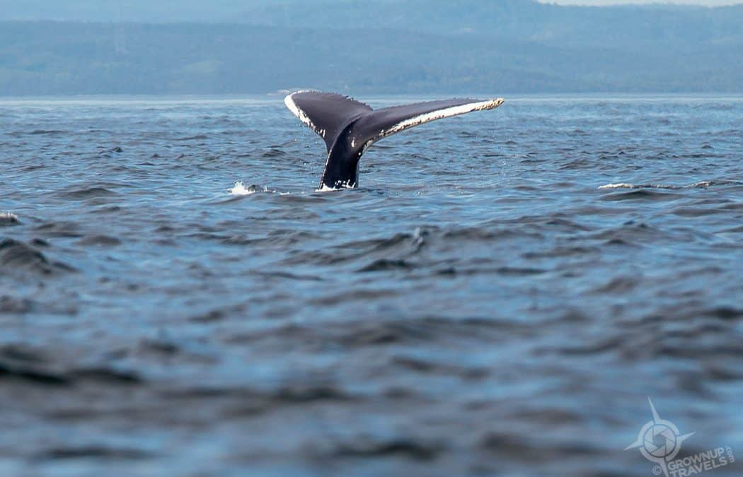 In Search of the White Whale: Whale-Watching in Québec Maritime