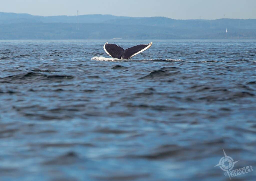 Humpback Whale Tail 3
