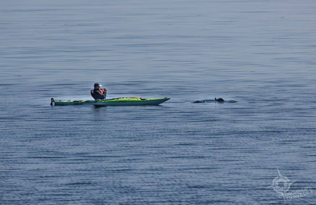 Kayaker with harbour porpoises Cap-de-Bon-Desir Quebec
