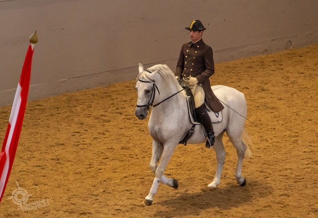 Vienna Lipizzan Stallion exercising