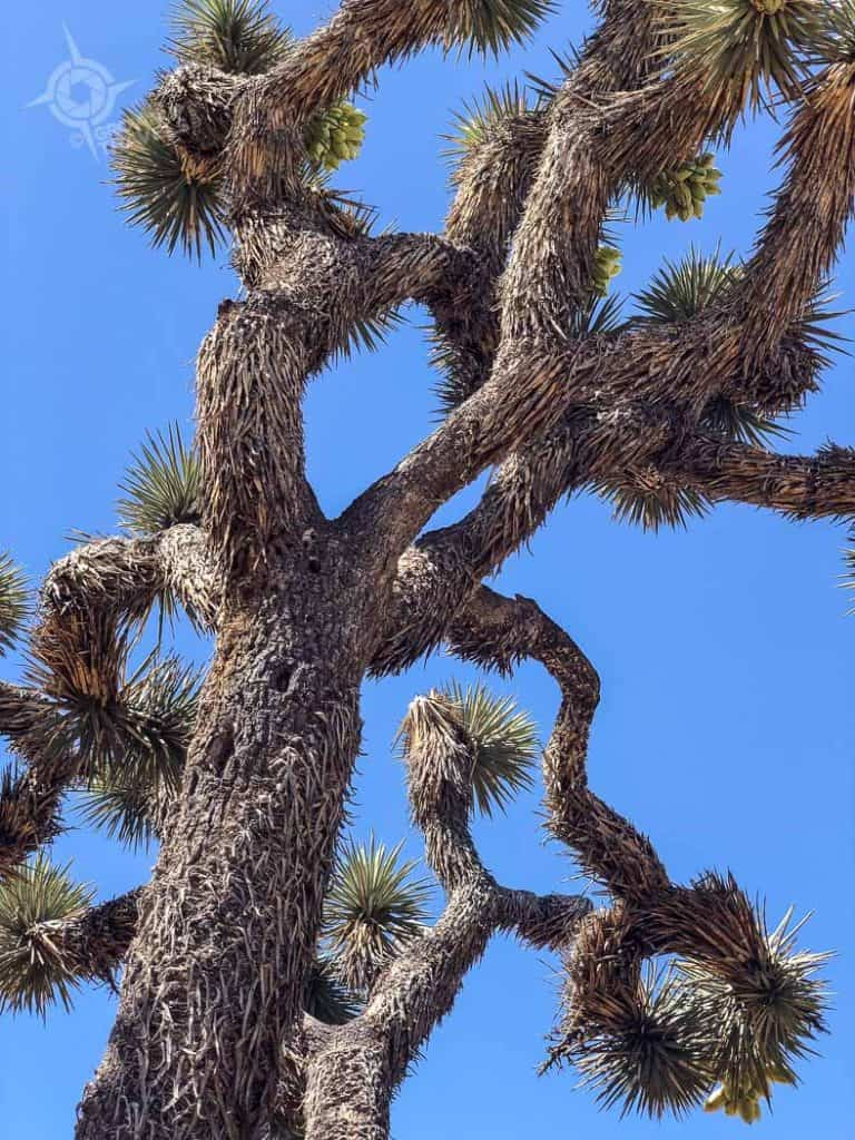 Joshua Tree branched arms