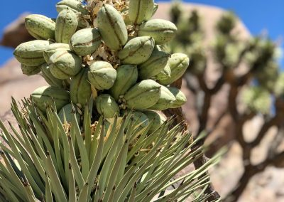 Joshua Tree seed pods